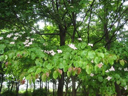 ヤマボウシの画像 p1_3